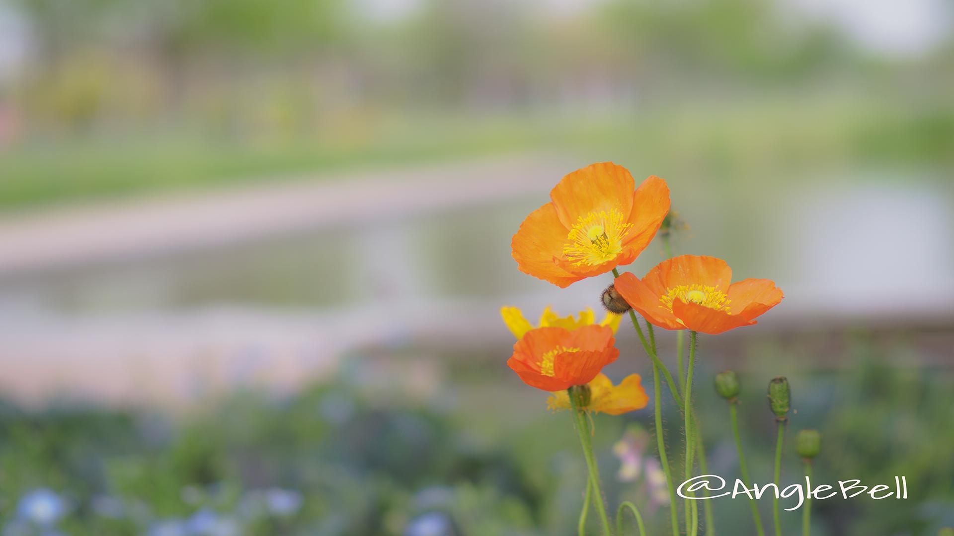 アイスランドポピー Flower Photo2