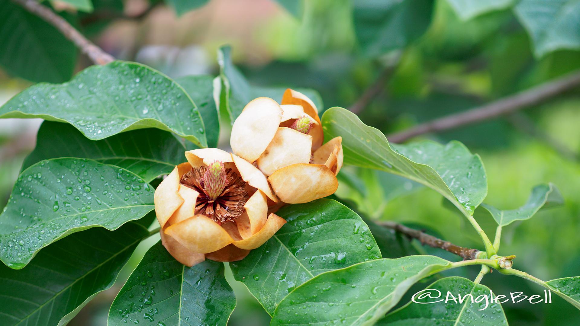オオヤマレンゲ 大山蓮華 Flower Photo5