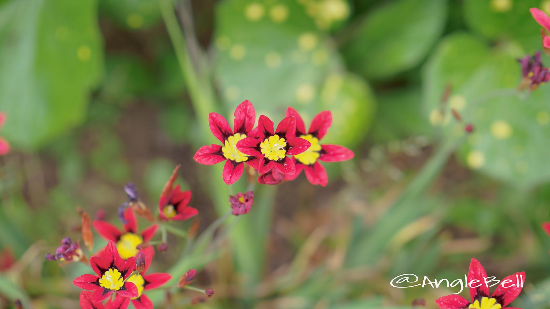 スパラキシス(スイセンアヤメ)_ Flower Photo2