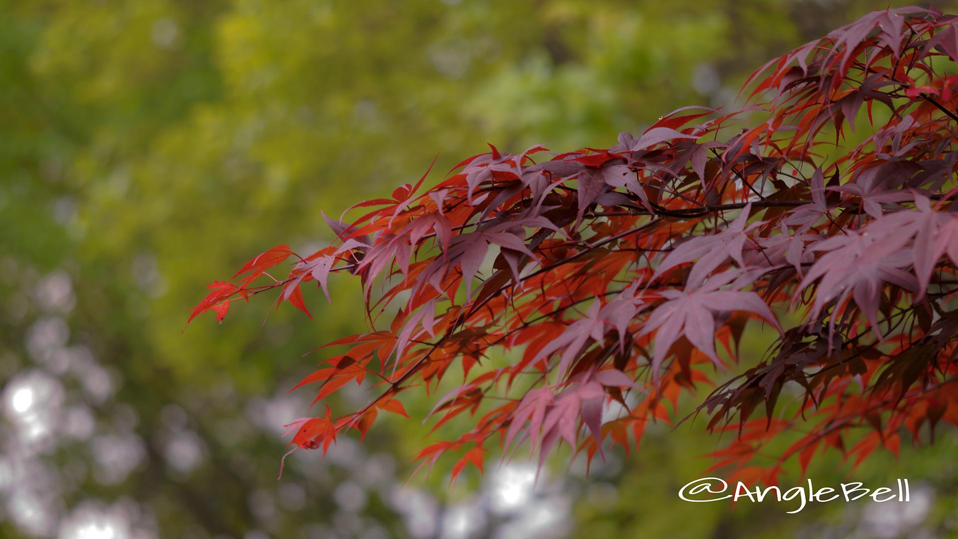 ノムラモミジ 野村モミジ Flower Photo2