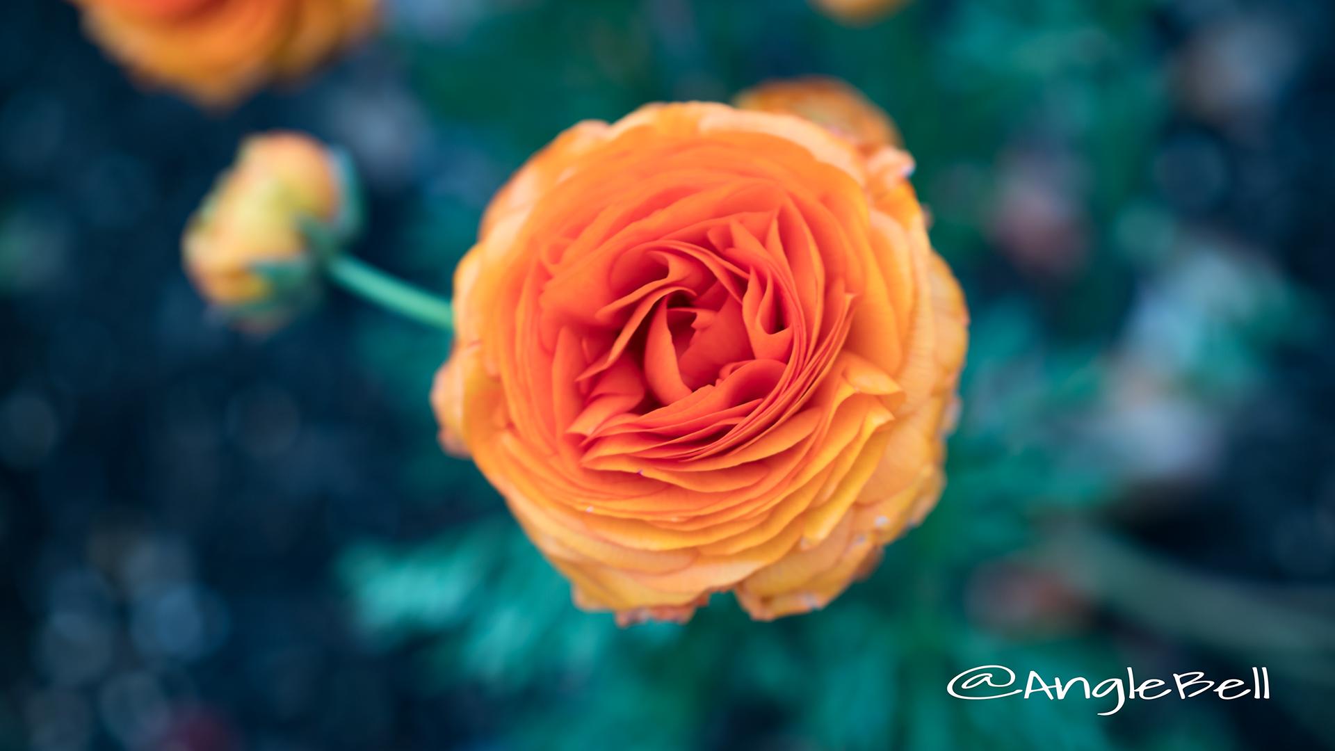 ラナンキュラスマシェ Flower Photo3