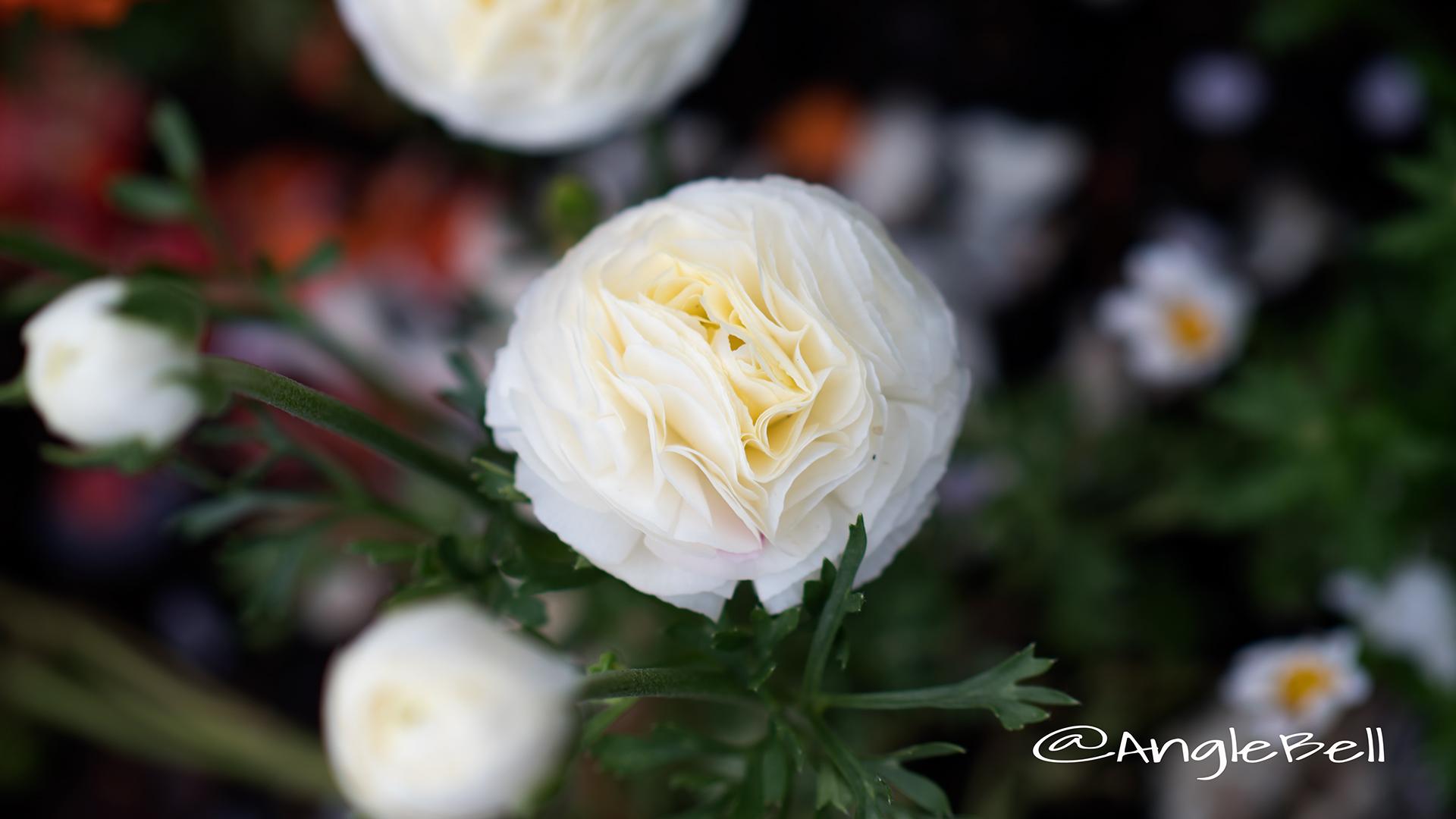 ラナンキュラスマシェ Flower Photo2