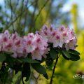 西洋シャクナゲ Flower Photo1
