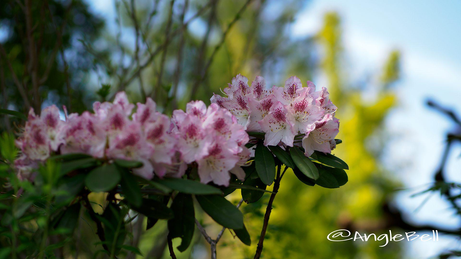 西洋シャクナゲ 西洋石楠花