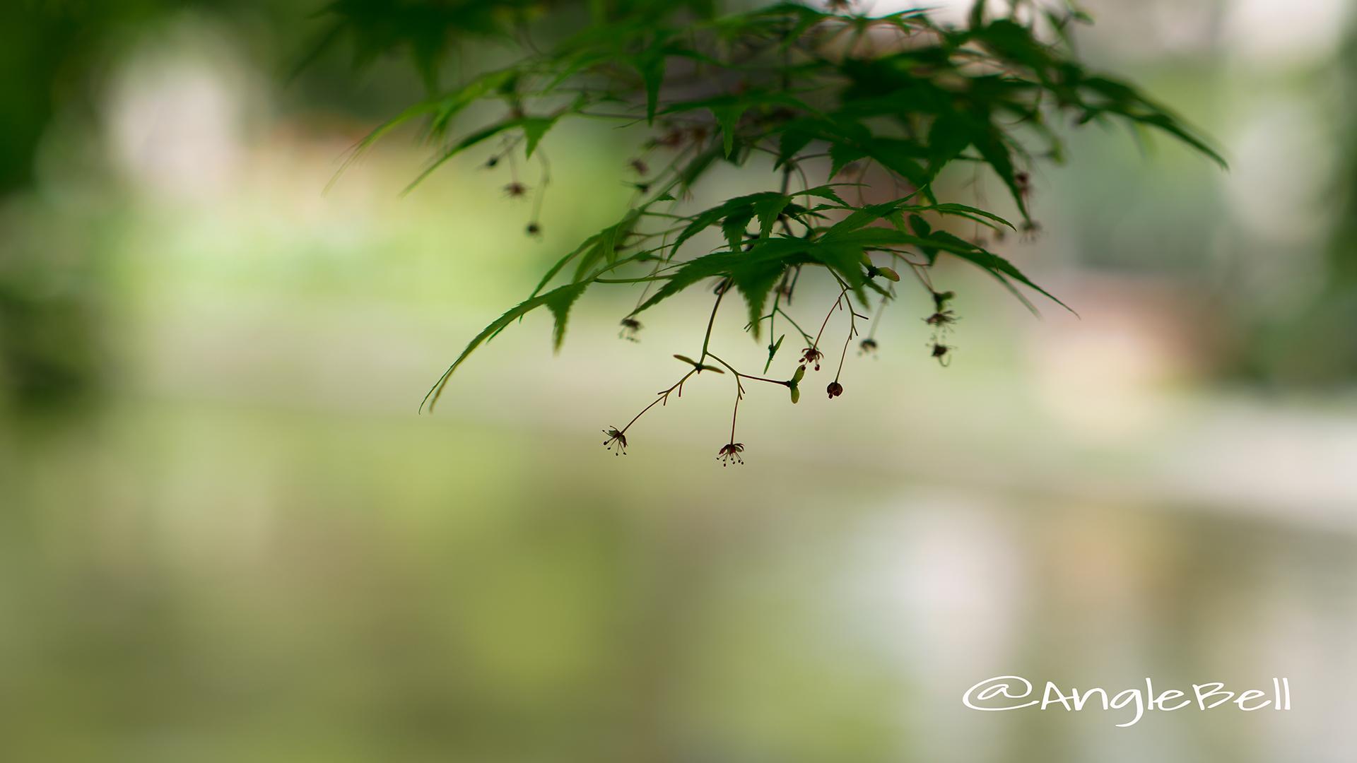カエデ 楓(花) Flower Photo7