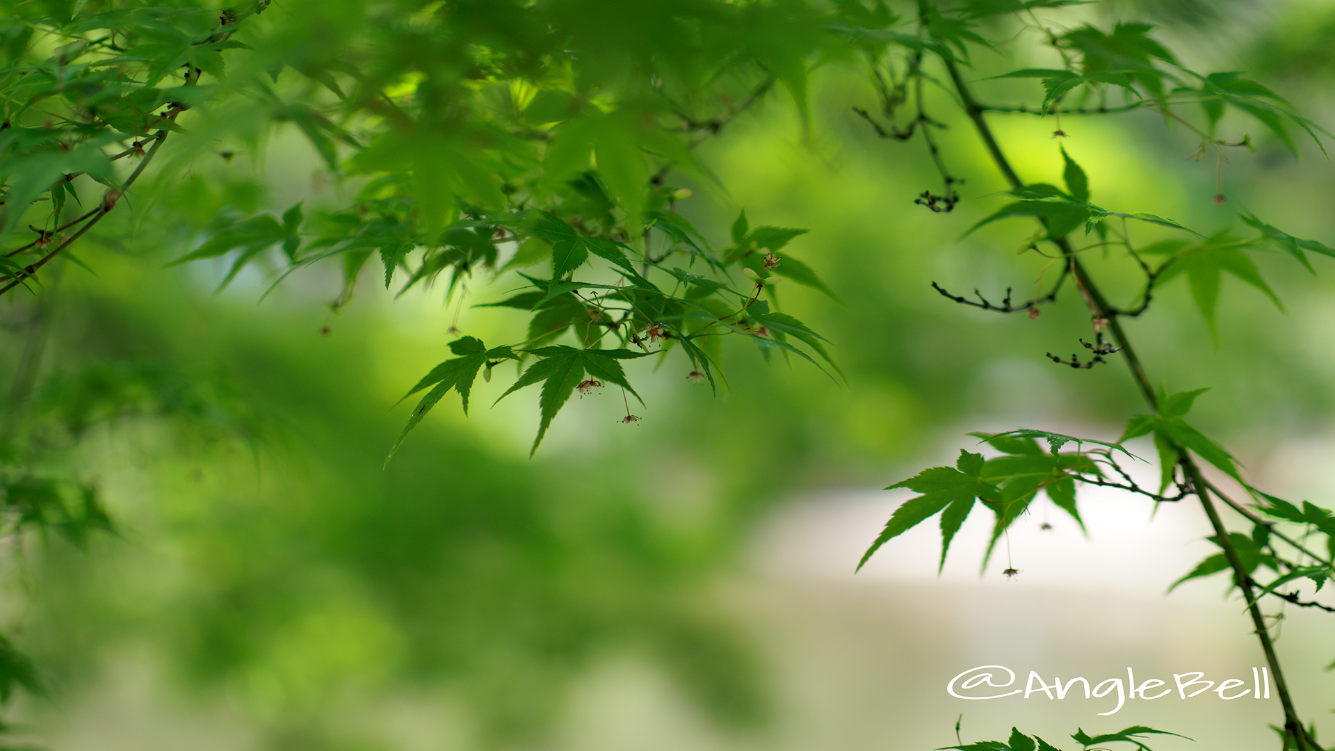 カエデ 楓(花) Flower Photo8