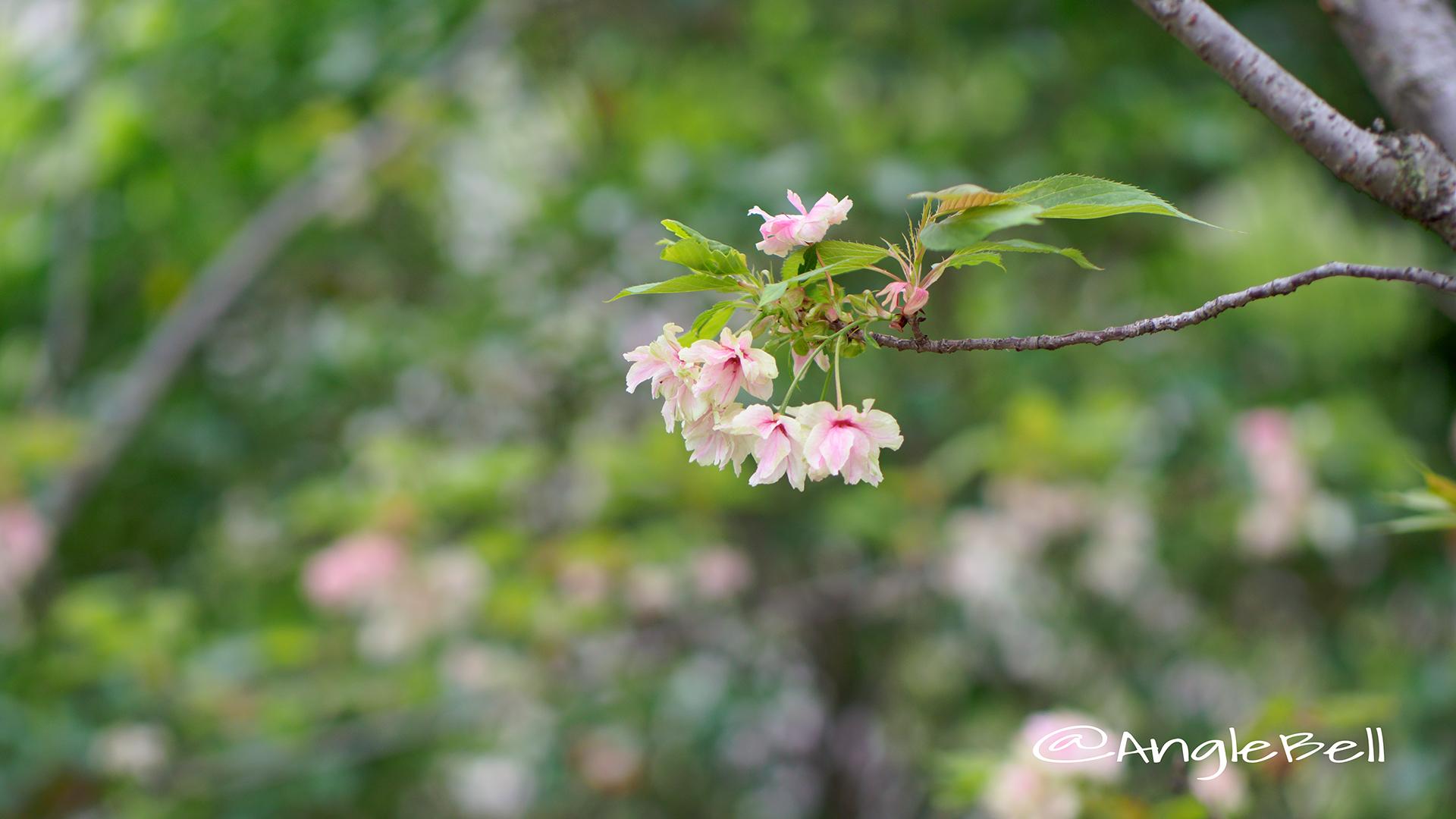 ウコン 鬱金 Flower Photo2