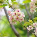 ウコン 鬱金 Flower Photo1