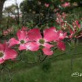 ハナミズキ 花水木 Flower Photo1