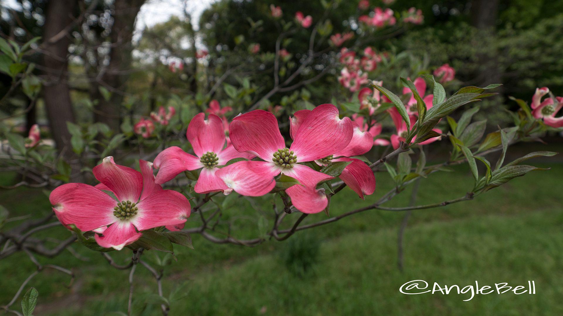 ハナミズキ 花水木