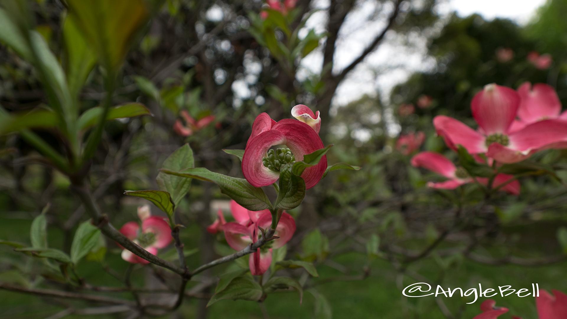 ハナミズキ 花水木 Flower Photo3