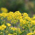 アリッサム サミット Flower Photo1