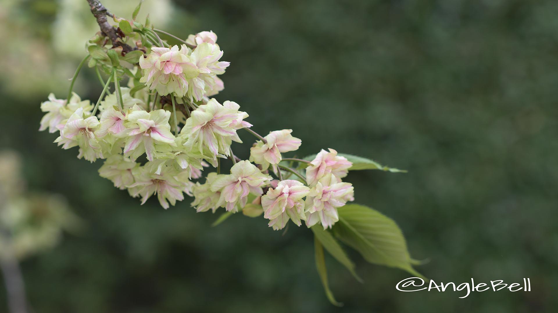 ギョイコウ 御衣黄 Flower Photo6