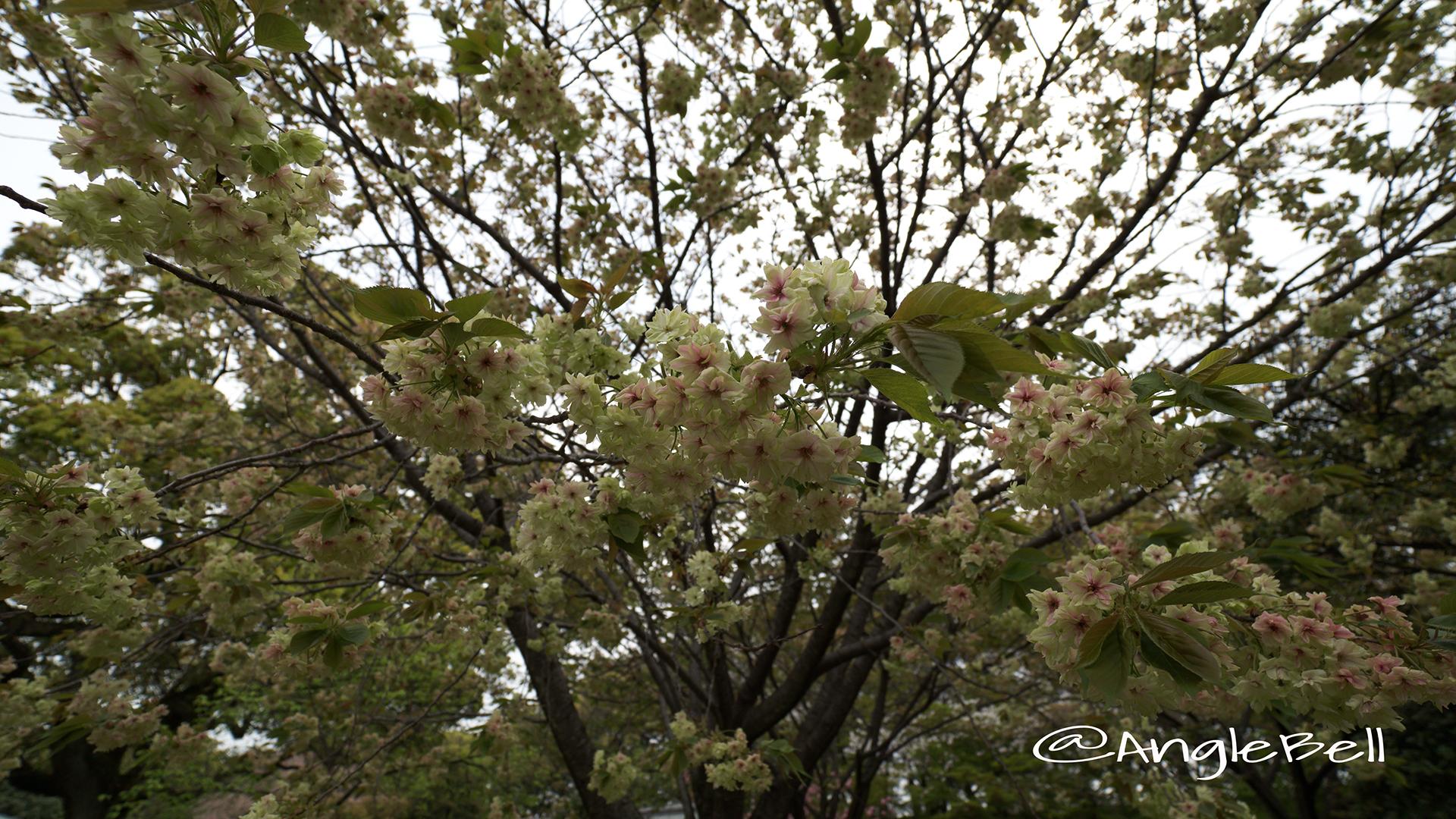 ギョイコウ 御衣黄 Flower Photo3
