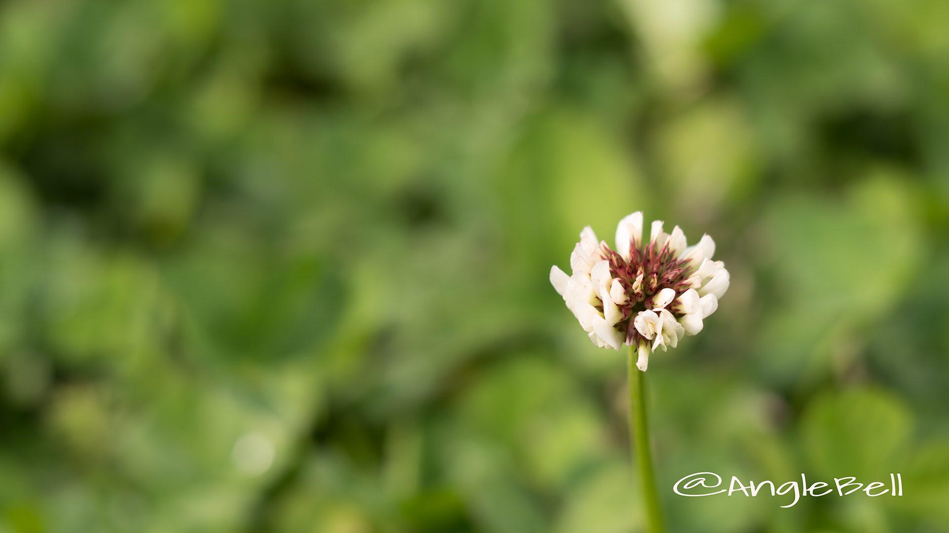 シロツメクサ 白詰草