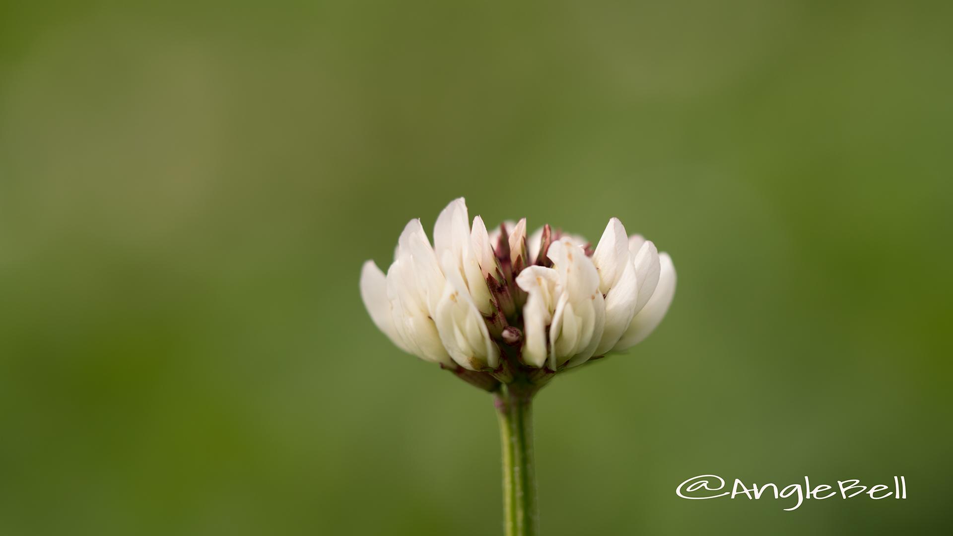 シロツメクサ 白詰草 Flower Photo2