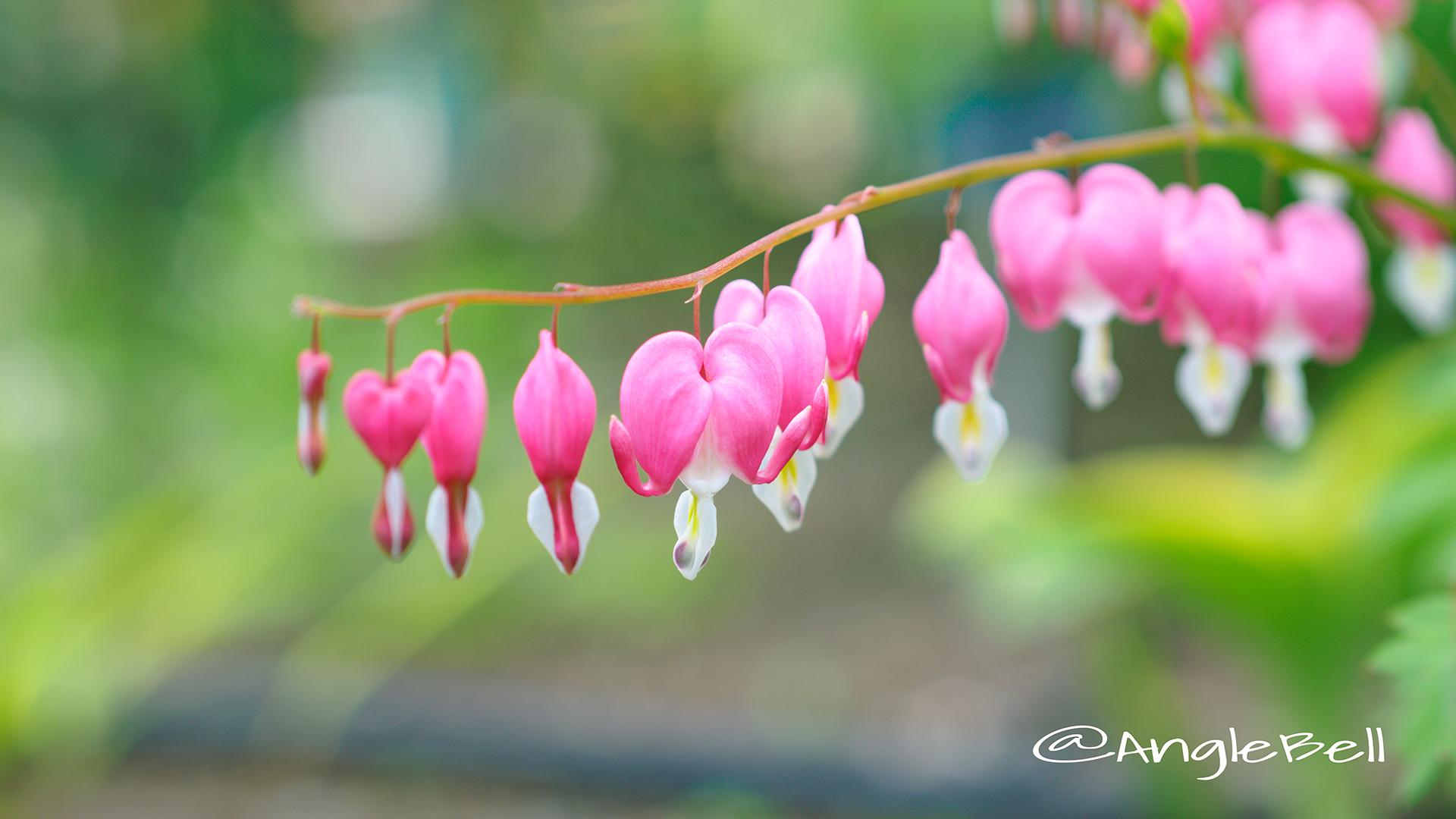 ケマンソウ 華鬘草 Flower Photo3