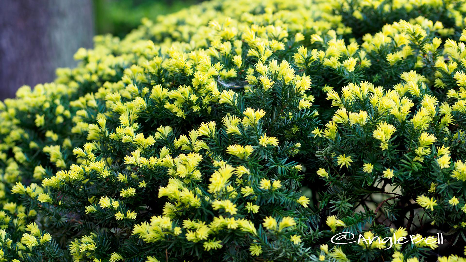キャラボク 伽羅木 Flower Photo2