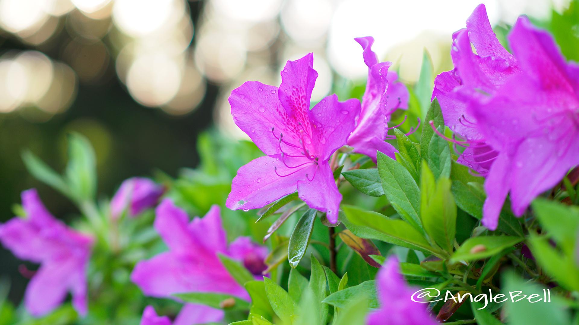 オオムラサキツツジ 大紫躑躅 Flower Photo2