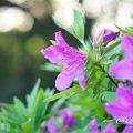 オオムラサキツツジ 大紫躑躅 Flower Photo1