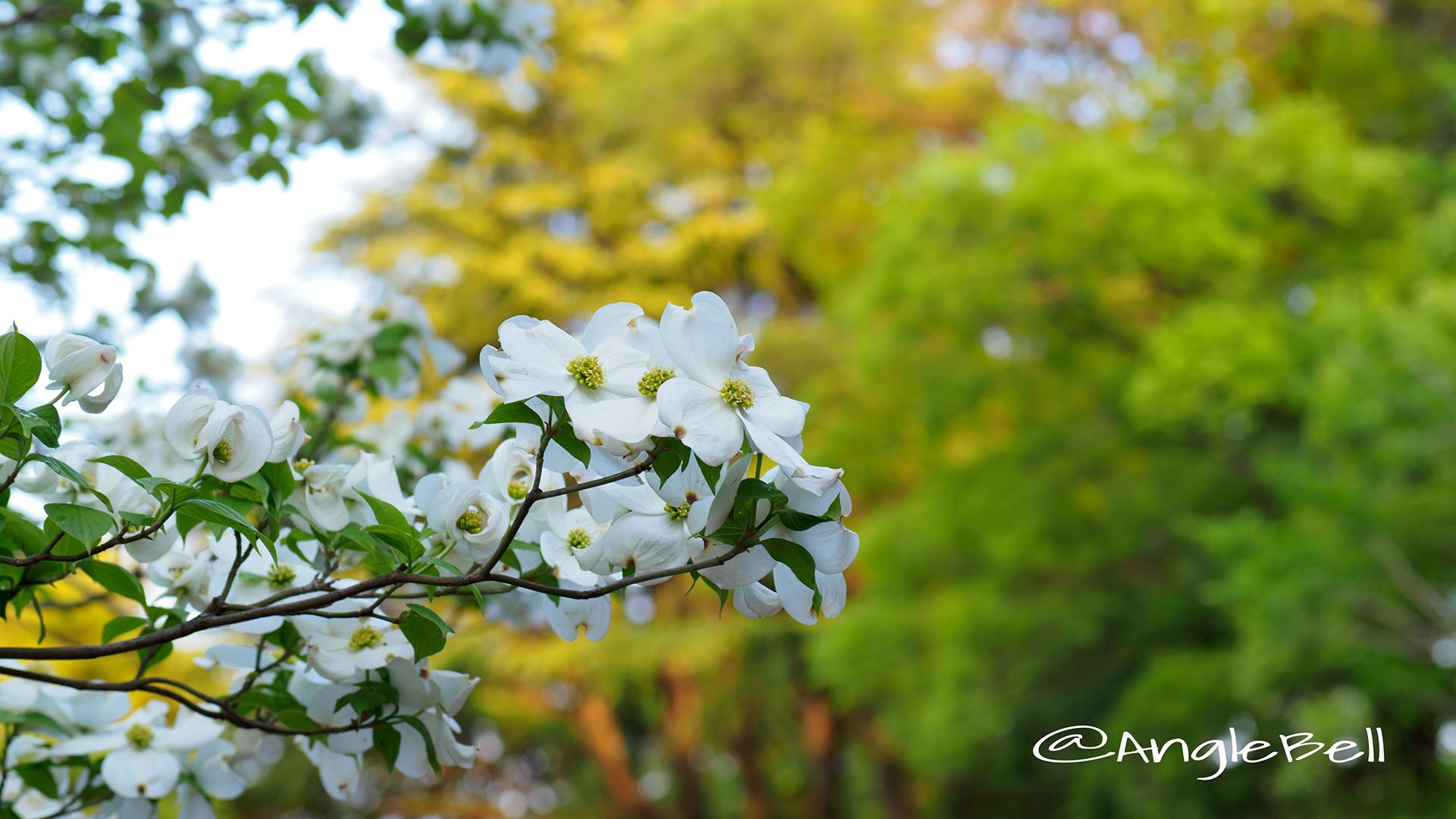ハナミズキ 花水木(白) Flower Photo1