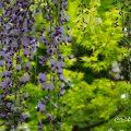 フジ 藤 Flower Photo1