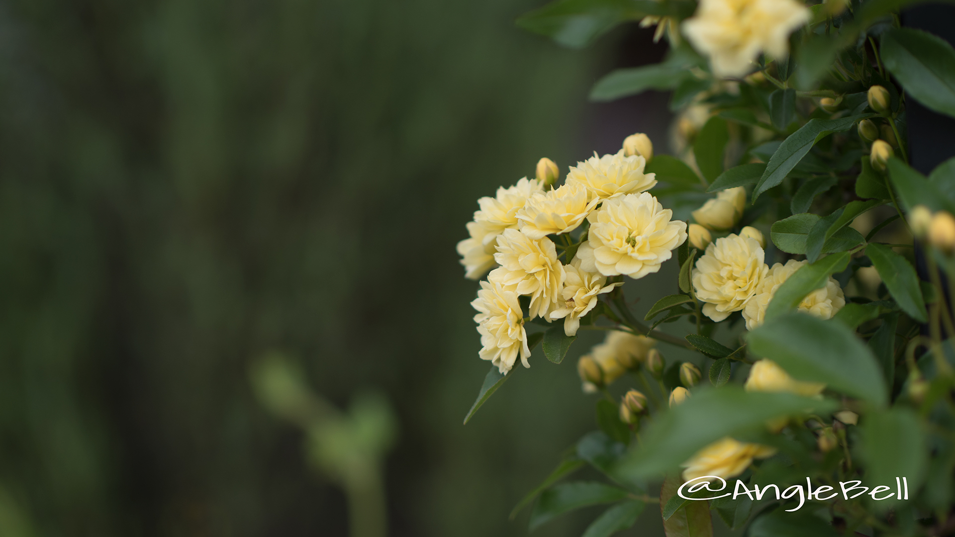 モッコウバラ 木香薔薇 Flower Photo2