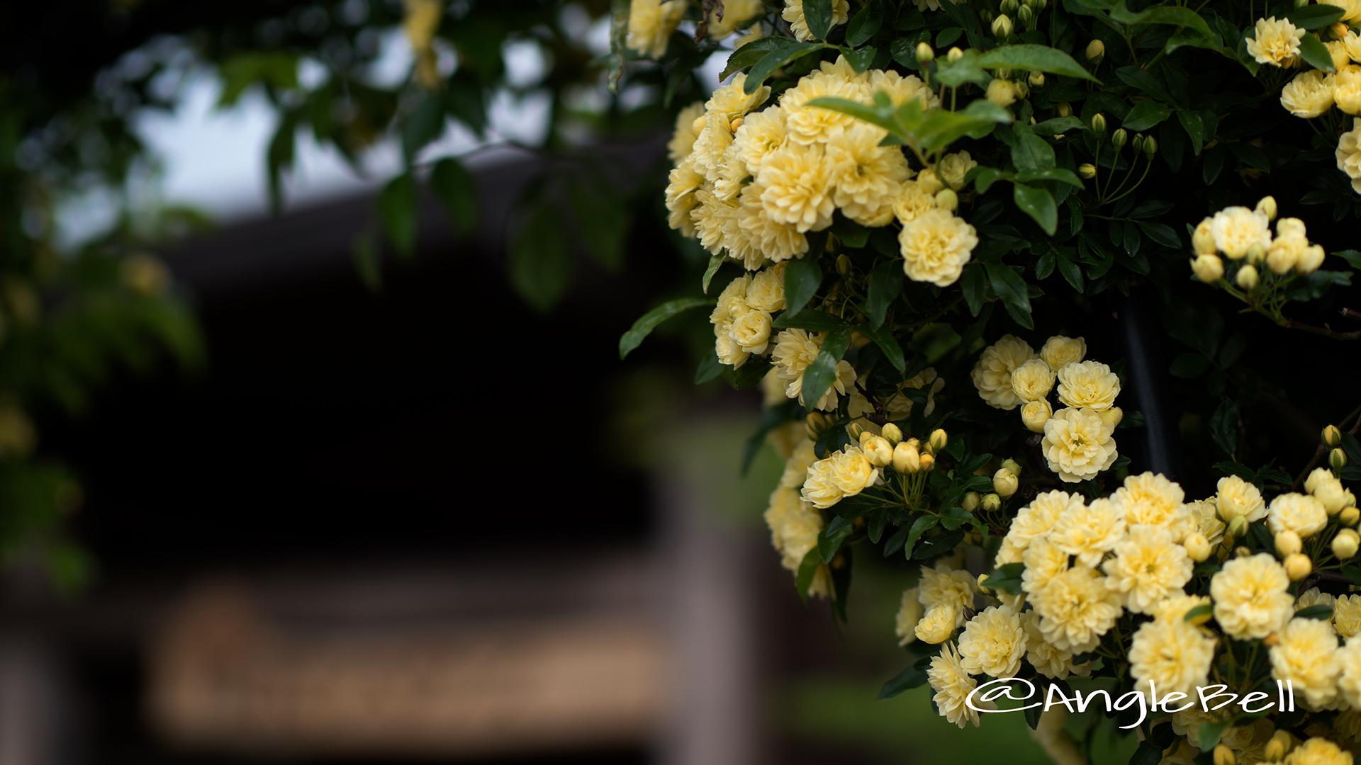 モッコウバラ 木香薔薇 Flower Photo3
