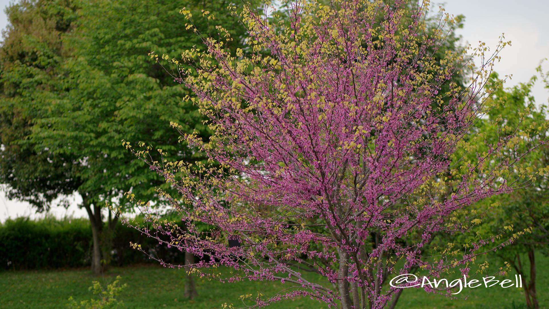 アメリカハナズオウ ハートオブゴールド Flower Photo3