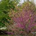 アメリカハナズオウ ハートオブゴールド Flower Photo1