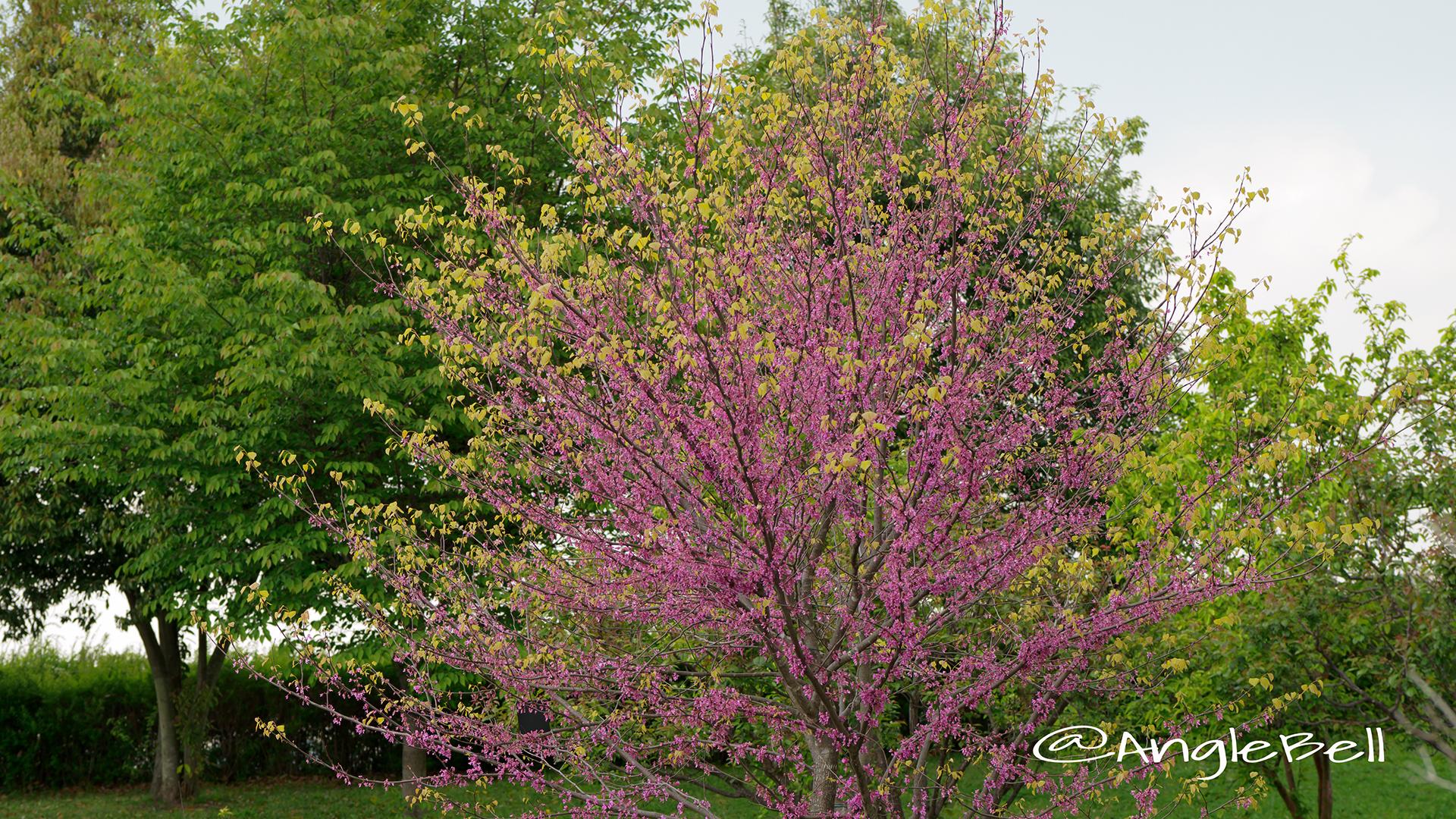 アメリカハナズオウ ハートオブゴールド Flower Photo2