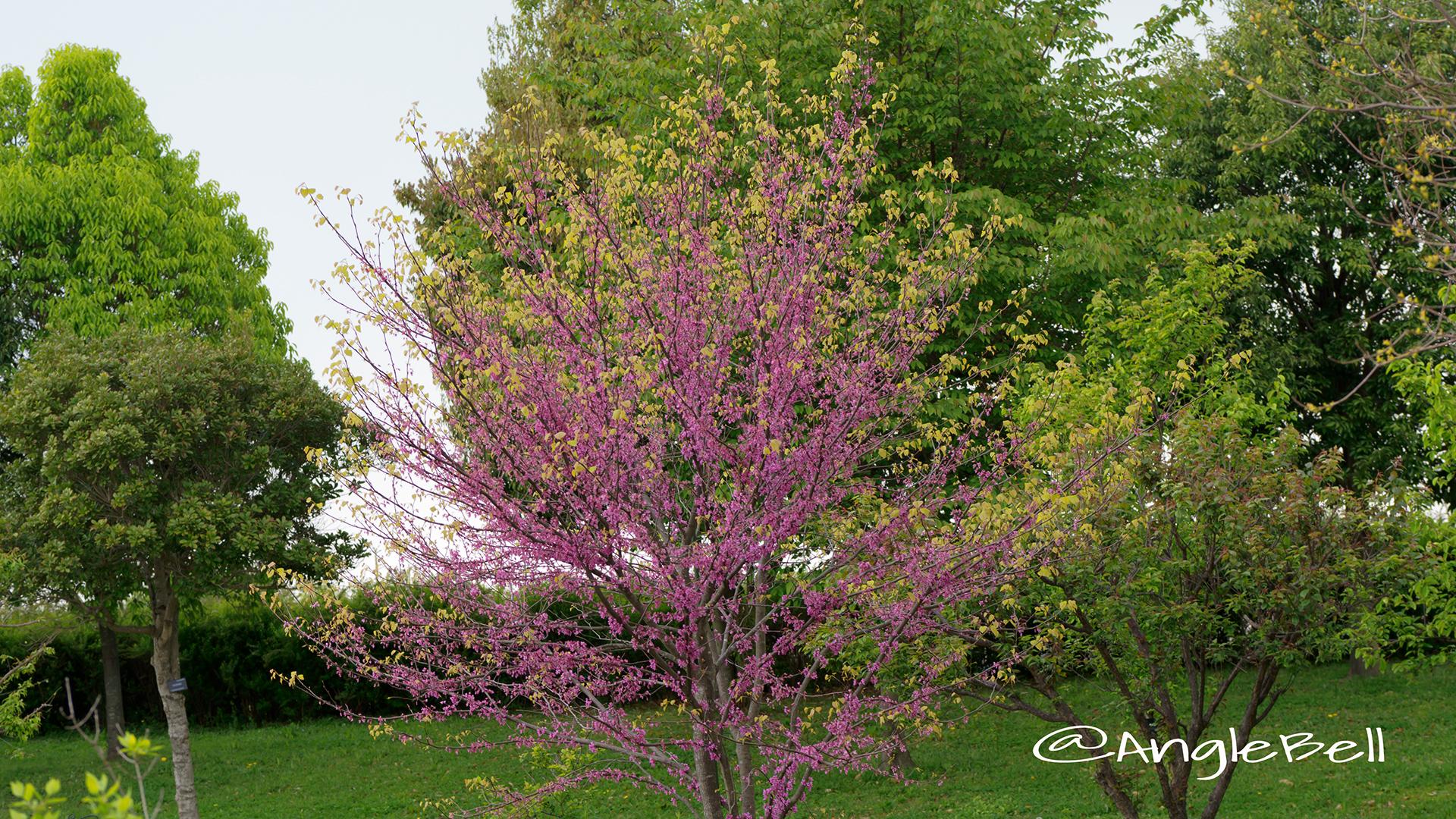 アメリカハナズオウ ハートオブゴールド Flower Photo6