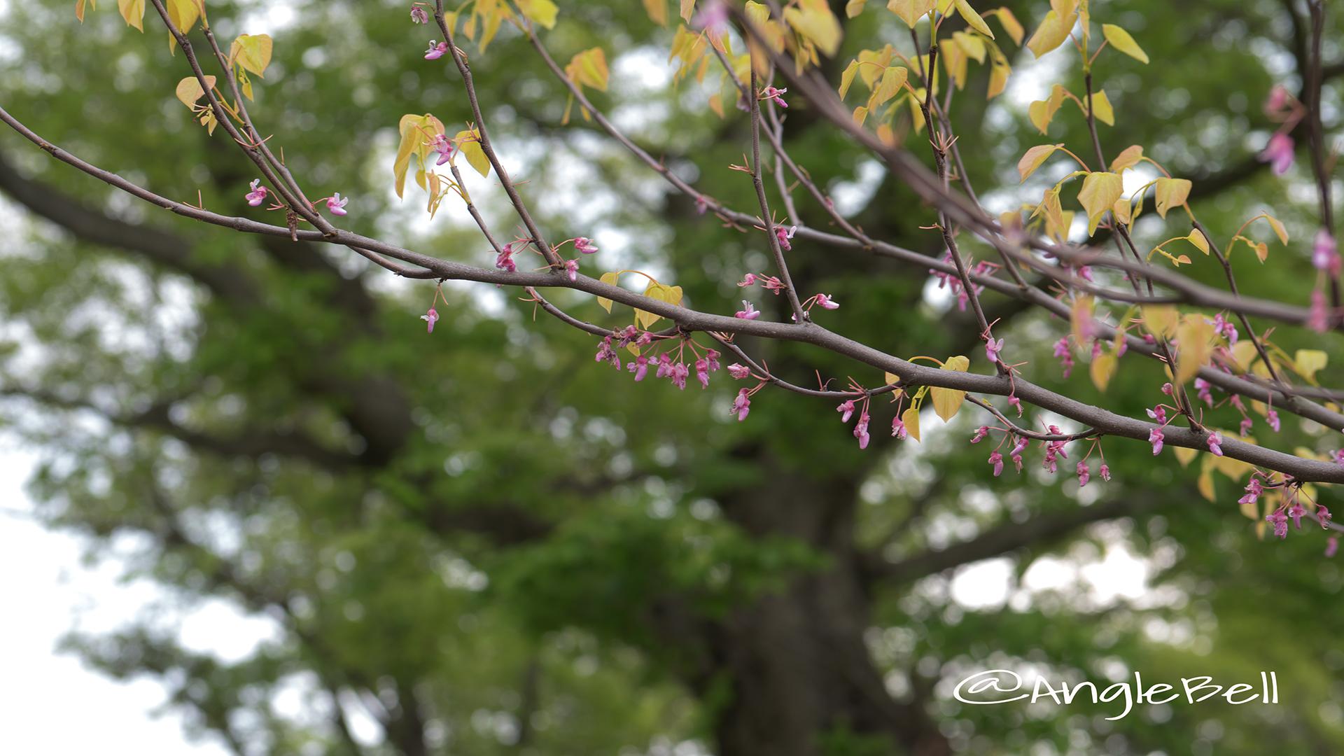 アメリカハナズオウ ハートオブゴールド Flower Photo4