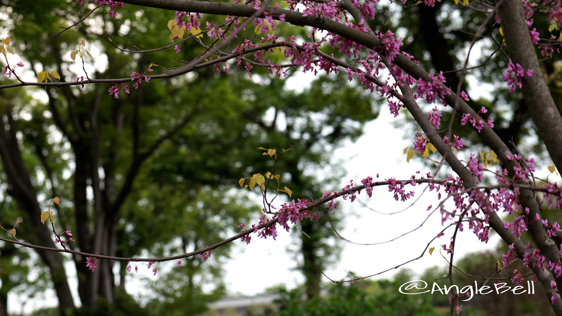 アメリカハナズオウ ハートオブゴールド Flower Photo5