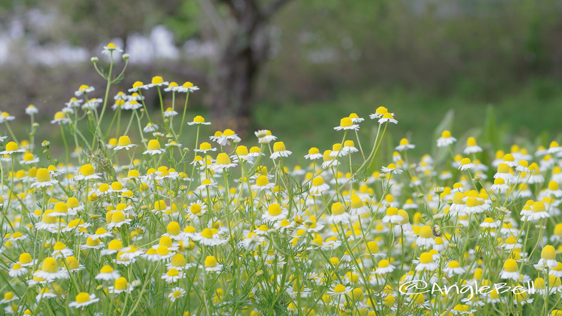 ジャーマンカモミール Flower Photo2