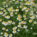 ジャーマンカモミール Flower Photo1