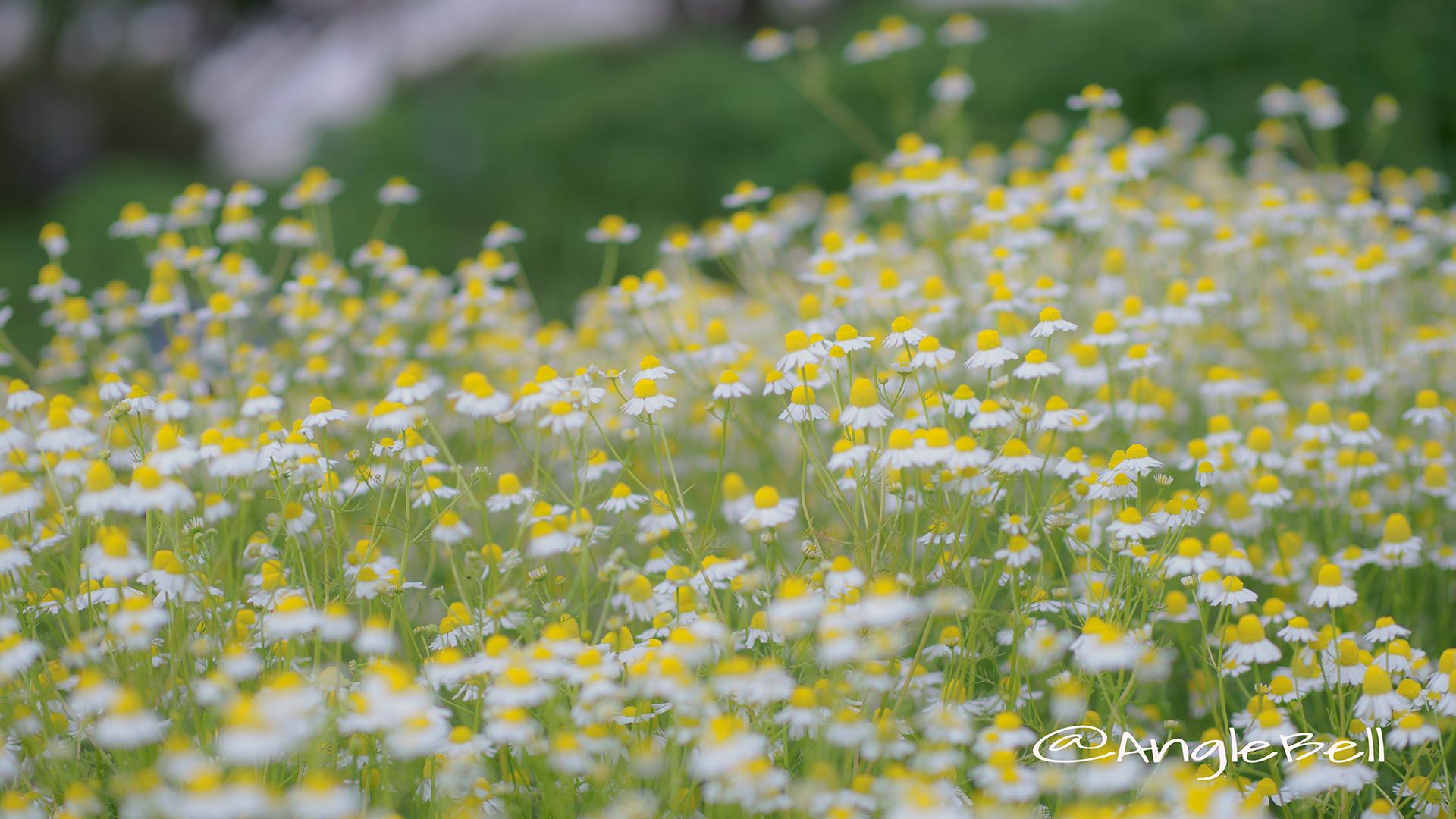 ジャーマンカモミール Flower Photo6
