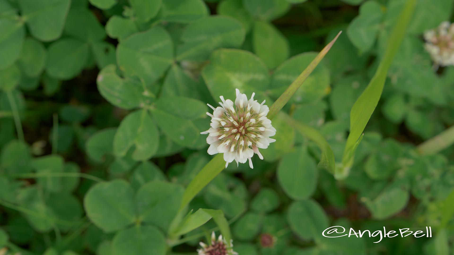シロツメクサ 白詰草 Flower Photo3