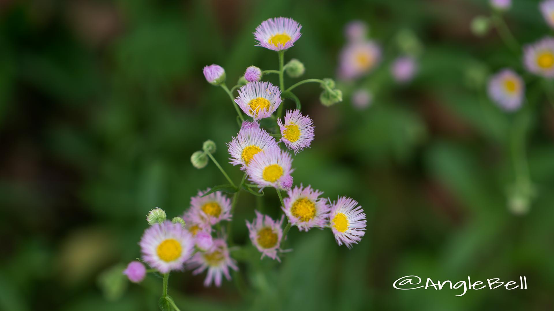 ハルジオン 春紫苑 Flower Photo1