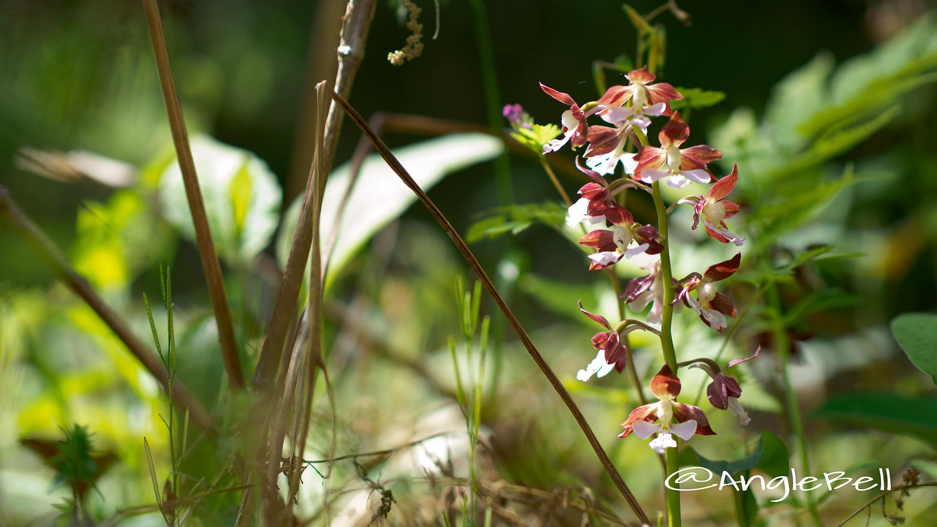エビネ 海老根 Flower Photo3