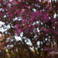 ベニバナトキワマンサク 紅花常盤万作 Flower Photo1