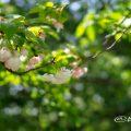 八重桜 松月 Flower Photo1