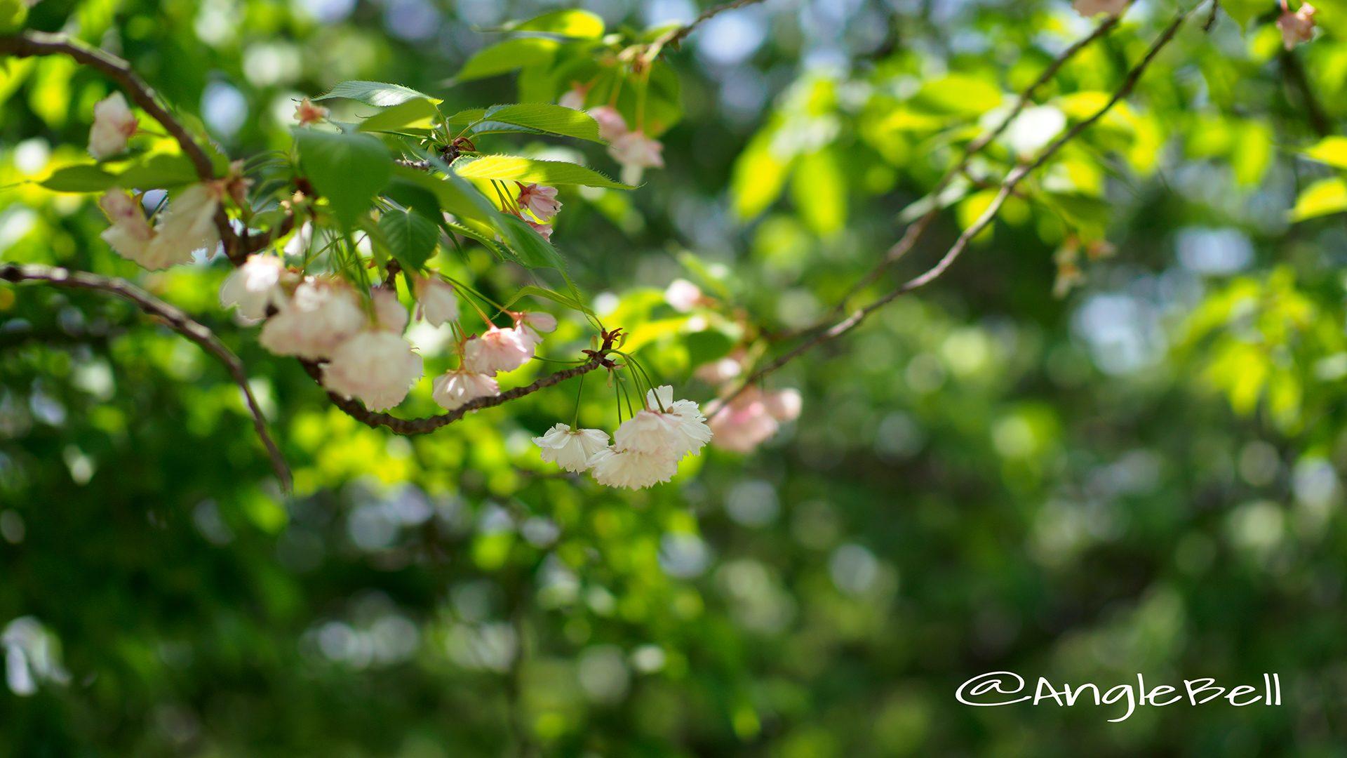 ショウゲツ 松月(八重桜)