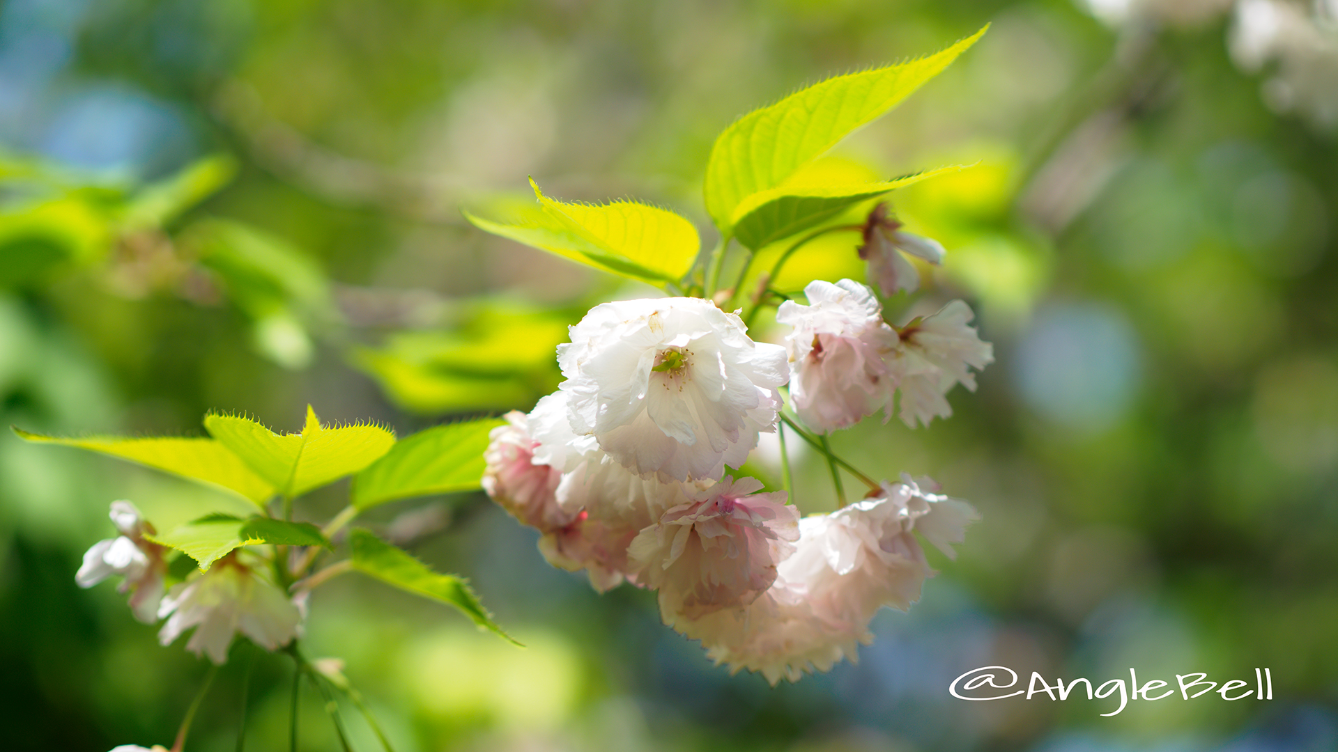 八重桜 松月 Flower Photo2