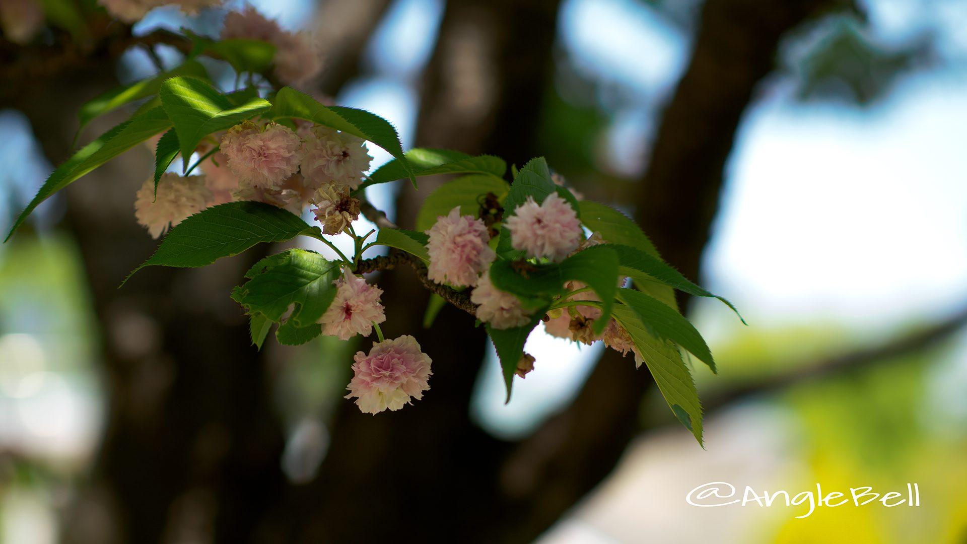 兼六園菊桜(菊桜)