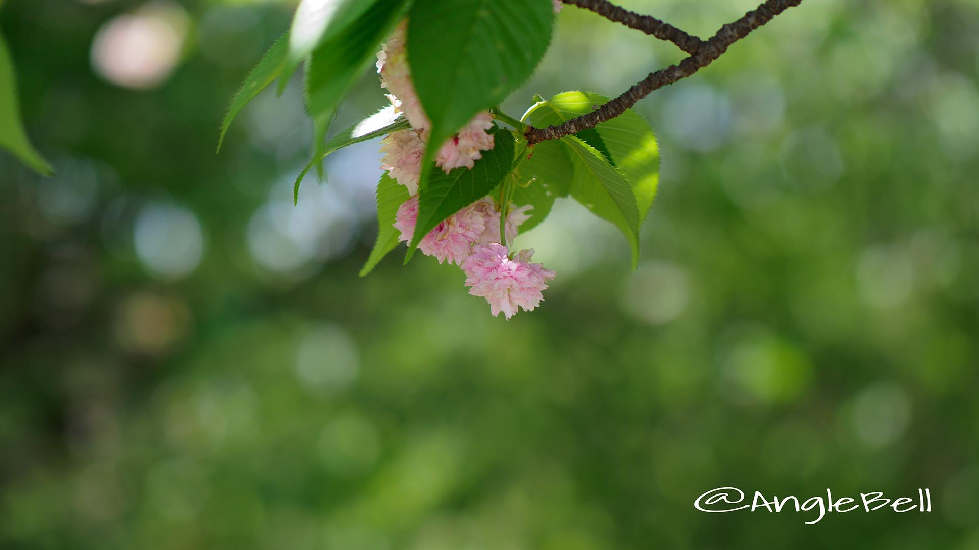 兼六園菊桜 Flower Photo3