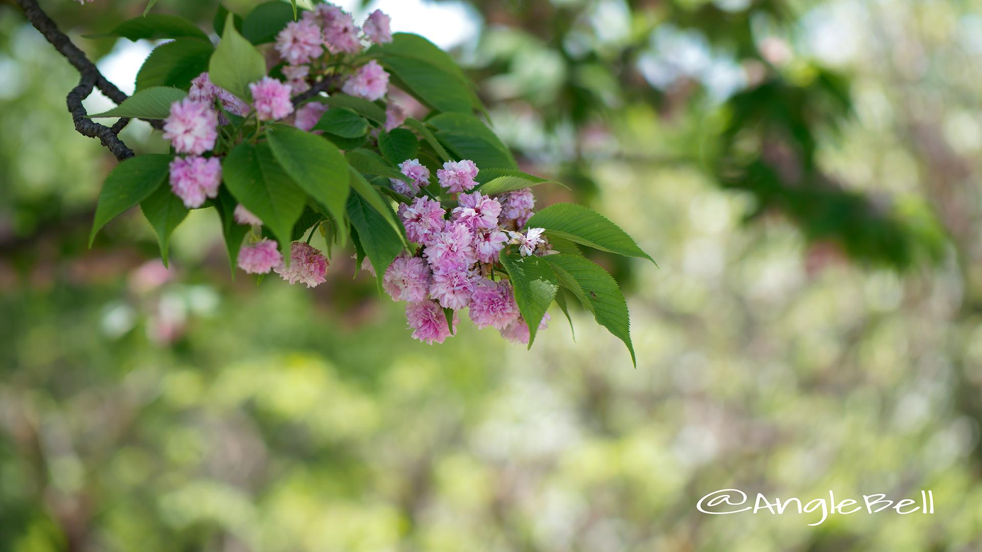 兼六園菊桜 Flower Photo2