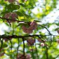 カンザン 関山(八重桜) Flower Photo1