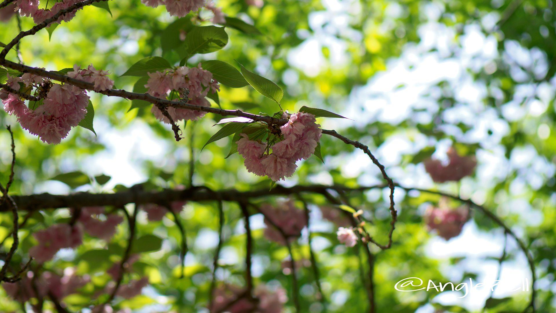 カンザン 関山(八重桜)