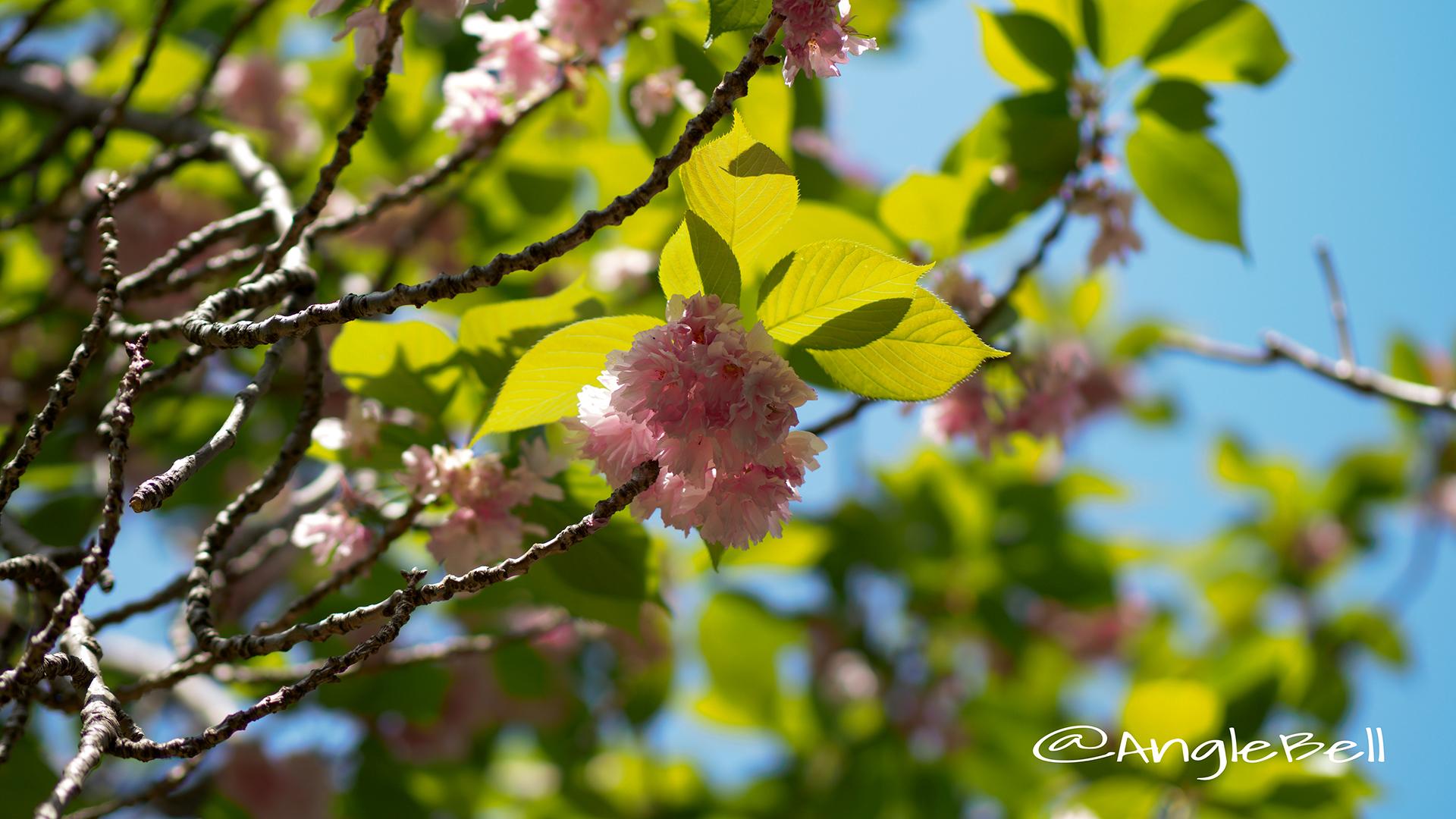 カンザン 関山(八重桜) Flower Photo2